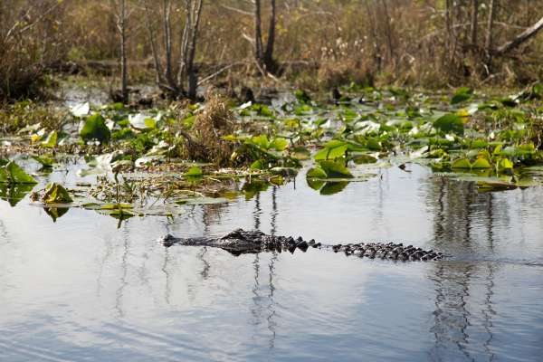 UF Stock Photo, Alligators