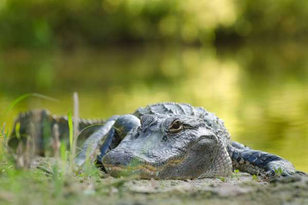UF Stock Photo, Alligator
