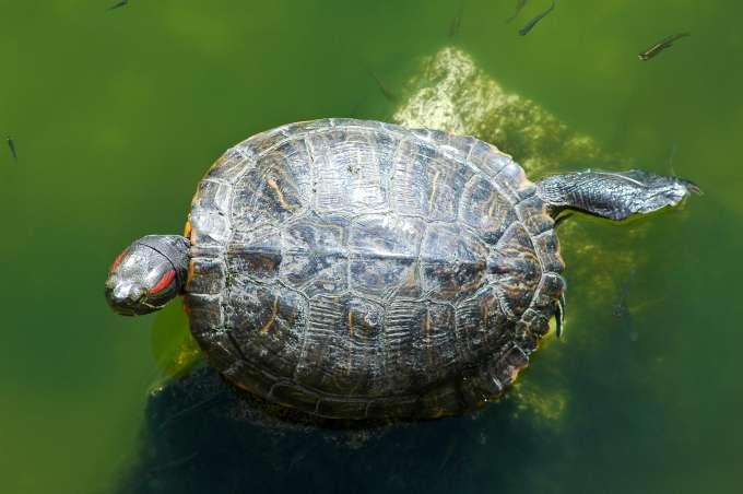 UF Stock Photo, Turtle
